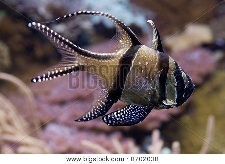 Pterapogon Kauderni - Cardinal Fish