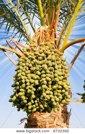 Date Palm With Green Unripe Dates.