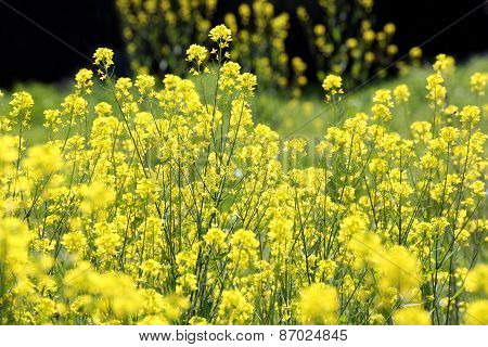 Canola flower plants