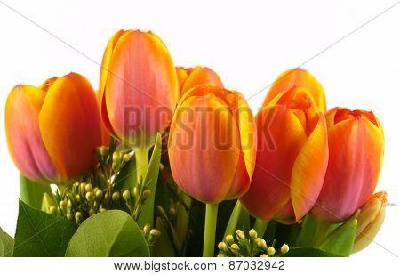 Blooming orange Tulip flowers