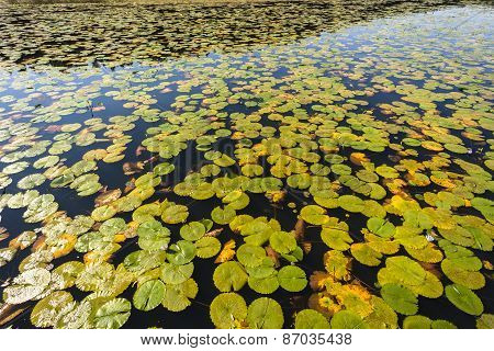 Water Lillies Leaves Lake