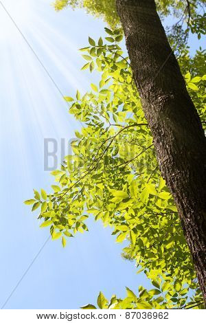 Sunshine And Ash Tree