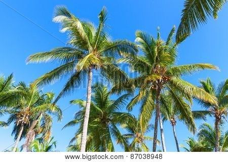 Coconut Palm Trees Over Clear Blue Sky Background