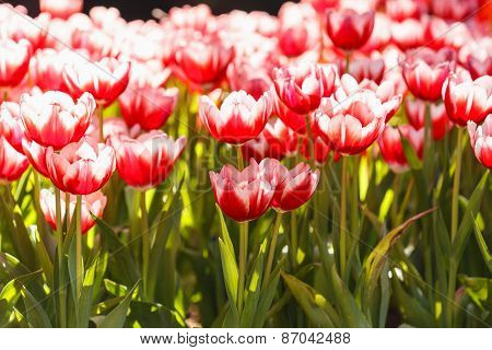 Colorful Tulips In The Park In Chiang Rai, Thailand