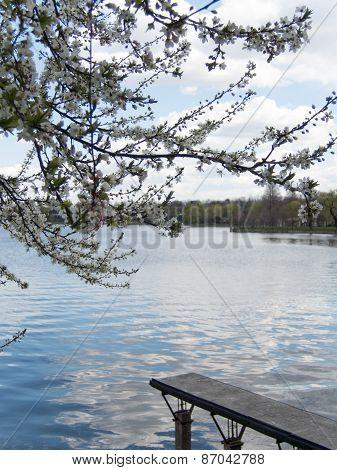 blossom tree, lake, pontoon