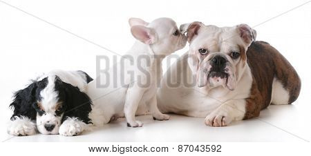 three purebred puppies  together on white background