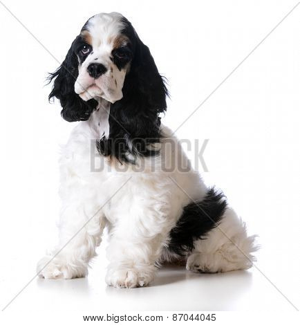 cute puppy - american cocker spaniel puppy sitting on white background