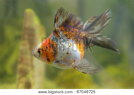 Goldfish In An Aquarium