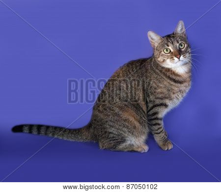 Thick Striped Cat Sitting On Blue
