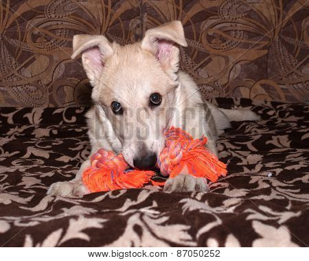 Red Puppy Nibbles Orange Toy On Couch