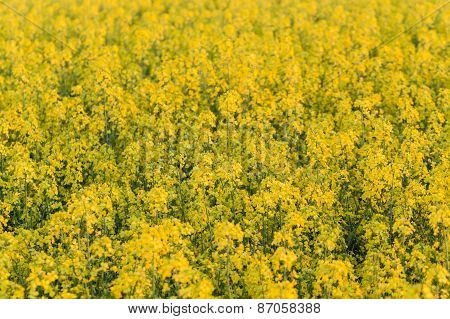 Field Of Rapeseed