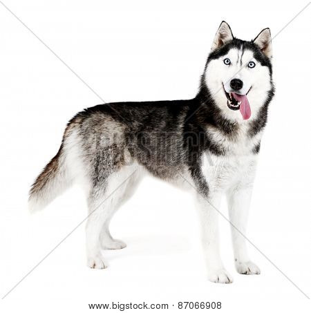 Beautiful cute husky, isolated on white