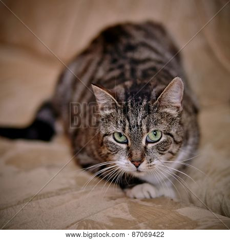 Gray Striped Shorthair Cat.