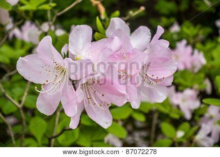 Delicate Pink Azalea Flowers - Macro