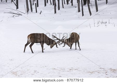 Elk in a fight
