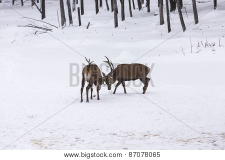 Elk in a fight
