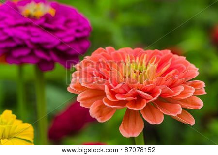 Colorful zinnias growing in the garden.