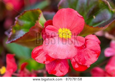 Pretty coral pink flowers of a wax begonia.