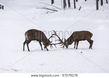 Two large elk fighting in a winter scene