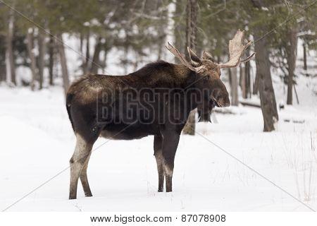 A lone bull moose in a winter scene