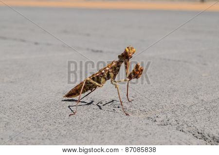 Insect Mantis Religiosa