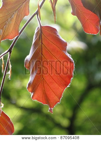 Red Leaf In The Sunshine
