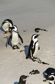 pic of jackass  - African Penguins  - JPG