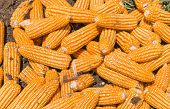 pic of hmong  - Dried corn is packed in a bag waiting for transportation by truck - JPG