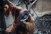 picture of leipzig  - Portrait of adult orangutan in the Leipzig Zoo - JPG