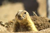 foto of peep  - Prairie dog peeping his head out of hole.