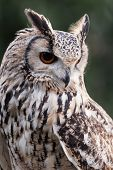 stock photo of eagles  - Three quarter portrait close up of an isolated eagle owl staring alert facing down showing orange eye and feather detail - JPG