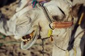 image of hump day  - beautiful camel in the big desert of Egypt - JPG
