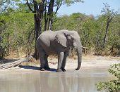 Постер, плакат: Elephant In Botswana