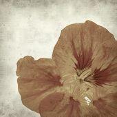 foto of nasturtium  - textured old paper background with Tropaeolum majus garden nasturtium - JPG