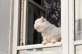 picture of substitutes  - Fluffy white cat sits in the window and substituting face to the sun sniffs - JPG
