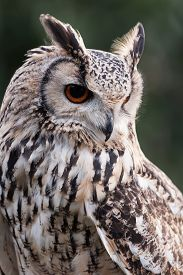 picture of owl eyes  - Three quarter portrait close up of an isolated eagle owl staring alert facing down showing orange eye and feather detail - JPG