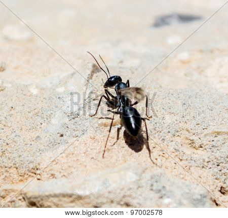 a winged ant