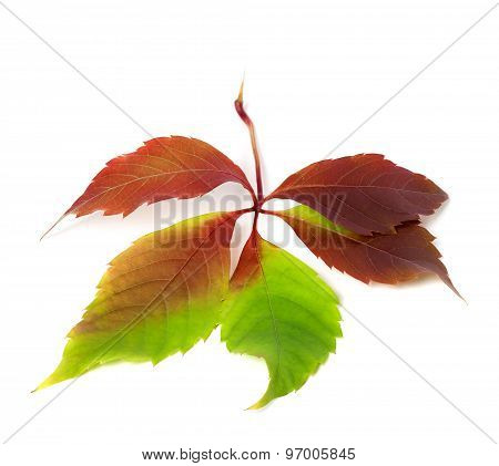 Multicolor Autumnal Virginia Creeper Leaf. Isolated On White Background.