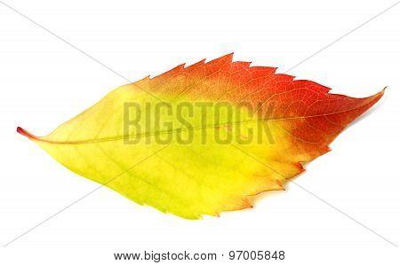Multicolor Autumn Leaf From Parthenocissus Quinquefolia Foliage