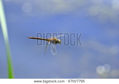 Dragonfly Close Up Flying Over The Water