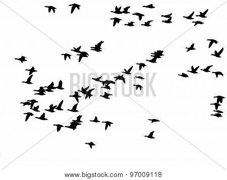 flock of birds