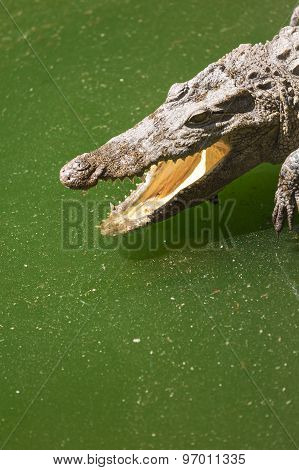 Crocodile Head With Open Jaws Closeup