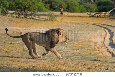 Cecil the Iconic Lion of Hwange