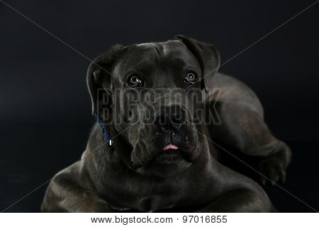 Cane corso italiano dog on black background