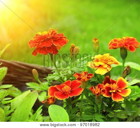 Flowers of Tagetes patula on green background