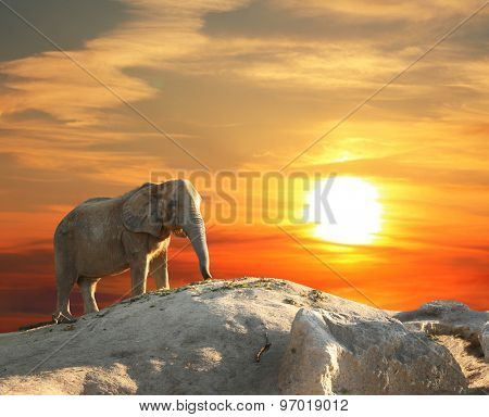 Stately african elephant at sunset