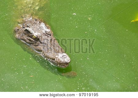 Crocodile Head With Closed Jaws Closeup