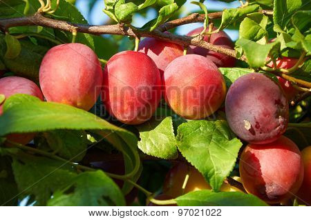 Branch Of Plum Tree With  Ripening Fruits
