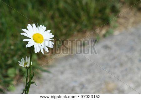 Daisy (Ox-eyed)