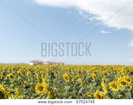 Field Of Sunflowers With Houses In The Background